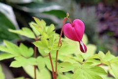 Srdcovka nádherná (Lamprocapnos spectabilis)