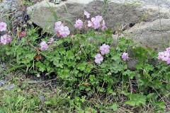 Kakost dalmatinský (Geranium dalmaticum)