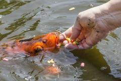 Zoznámte sa s koi kaprom Karlom. Má žiarivo oranžovú farbu, občas na vás chrstne vodu a rád sa necháva kŕmiť z ruky