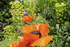Ak mu korene nezhltnú hlodavce, rozvinie mak kvety veľké ako dezertné taniere. V sprievode stredozemného mliečnika púta pozornosť už od záhradnej brány