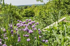 Pažítku možno na záhrade pestovať nielen pre chuť, ale aj na okrasu, ako dokazuje táto fotografia rozkvitnutých trsov