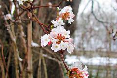 Niektoré kaliny (Viburnum) kvitnú aj v zimných mesiacoch - pestuje sa hlavne kalina vonná a kalina bodnanská