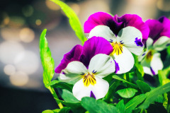 Fialka ostrohatá (Viola cornuta)