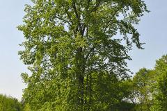 Výhľad cez odpočívadlo na majestátny brest hrabolistý (Ulmus minor)