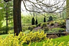 Do zlatista olistený bršlen Fortuneov žiari už z diaľky a rovnako ako slniečko prepožičiava jarnej záhrade veselý ráz