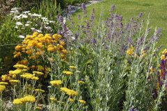 Zapojený porast okolo kruhového trávnika tvorí okrem levandule aj modro kvitnúca perovskia. Žltú farbu do záhona vnáša rebríček, krásnoočká a pupalky