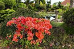 V záhrade samozrejme nemôžu chýbať azalky; tu je japonská azalka zvaná Gejša (Azalea japonica ´Geisha Orange´)
