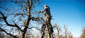 Zimný rez ovocných drevín